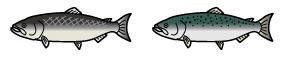 鮭について